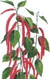 Акалифа щетинистоволосистая (Acalypha hispida)