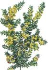 Акация (Acacia)