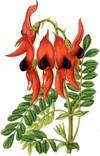 Клиантус (Clianthus)