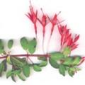 Фуксия (Fuchsia)