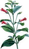 Геснерия (Gesneria)