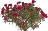 Лептоспермум (Leptospermum)