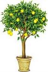 limond