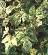 Виноградовник коротконожковидный (Ampelopsis brevipedunculata)