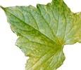 Вирусы и растения